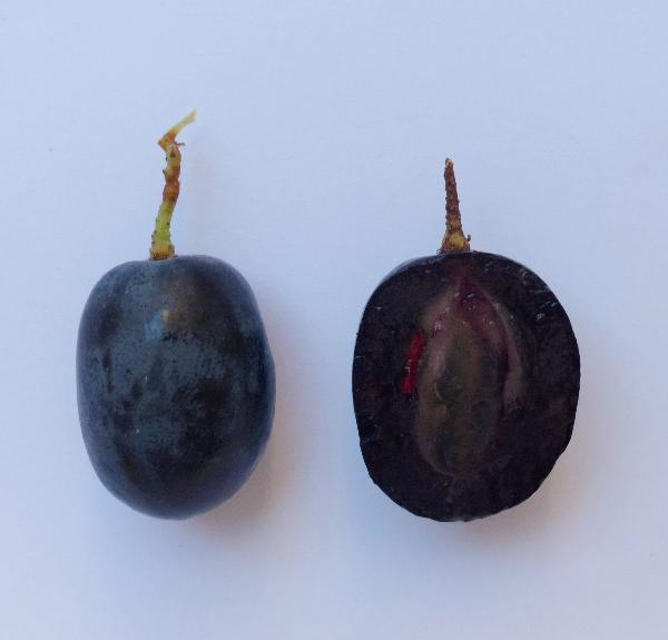 Vitis vinifera L. 'Attica Black Seedless'