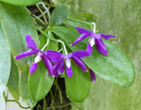 Phalaenopsis pulchra (Rchb.f.) H.R.Sweet