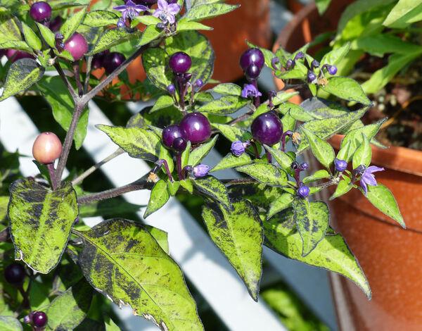 Capsicum annuum L. 'Purple Delight'