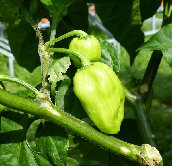 Capsicum chinense Jacq. 'Trinidad Scorpion Red'