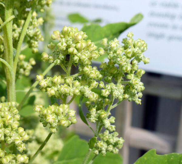 Chenopodium quinoa Willd.
