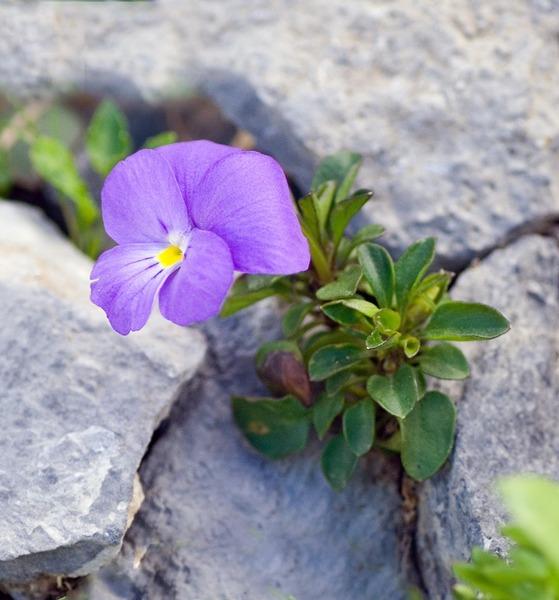 Viola cenisia L.