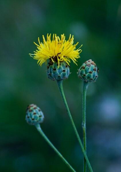 Centaurea arachnoidea Viv. subsp. arachnoidea