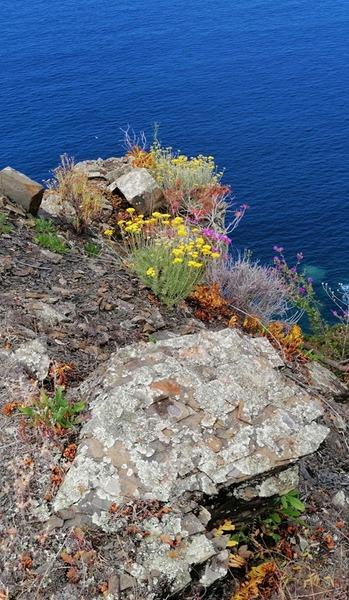 Centaurea aplolepa Moretti subsp. levantina (Arrigoni) Greuter