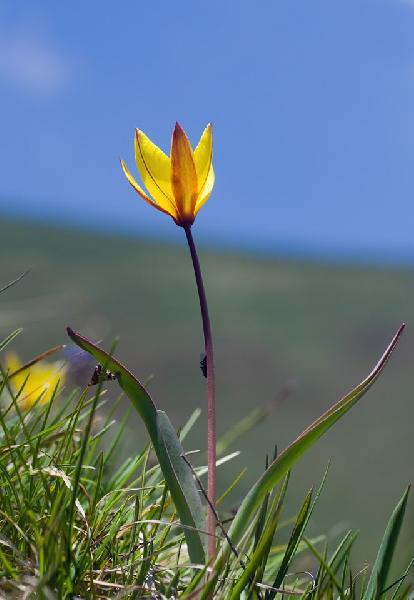 Tulipa pumila Moench