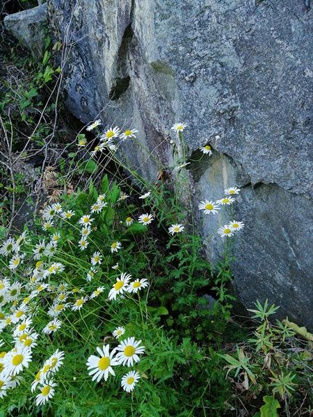 Leucanthemum legraeanum (Rouy) B. Bock & J.-M. Tison