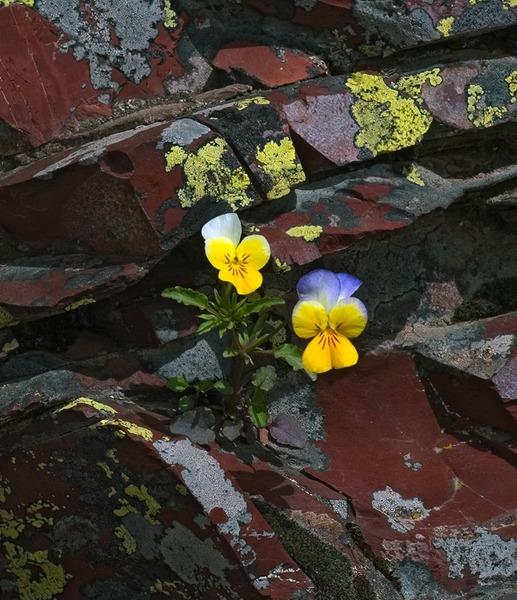 Viola tricolor L. subsp. saxatilis (F.W.Schmidt) Jan