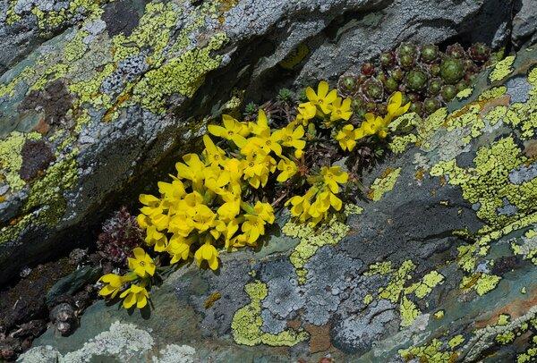 Androsace vitaliana (L.) Lapeyr. subsp. cinerea (Sünd.) Kress