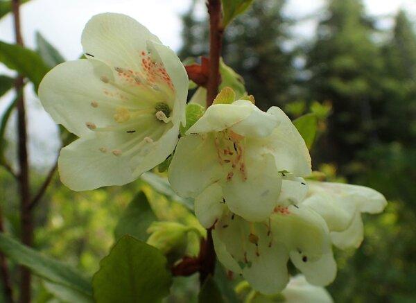 Rhododendron albiflorum Hook.