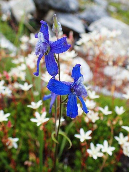 Delphinium nuttallianum Pritz. ex Walp.