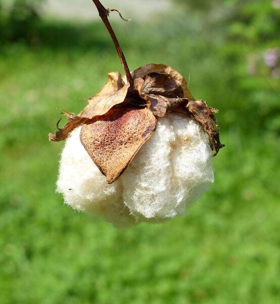 Gossypium hirsutum L.