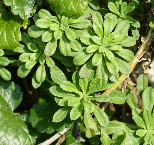 Alyssoides utriculata (L.) Medik. subsp. utriculata