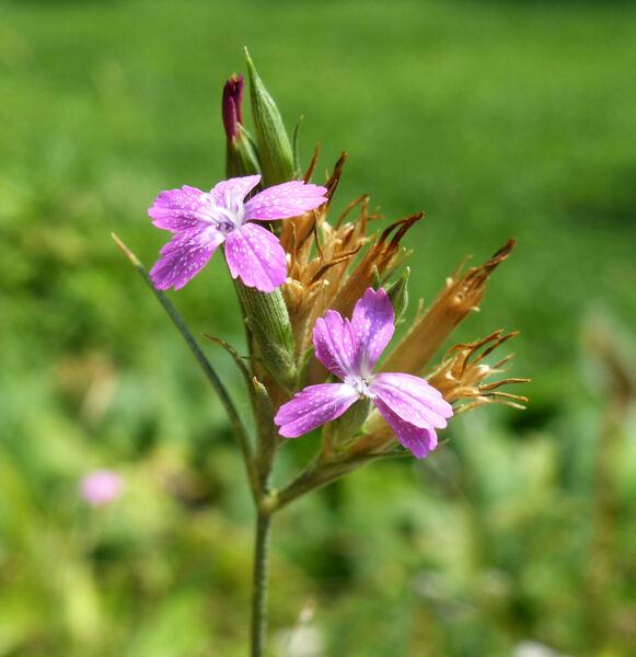 Dianthus armeria L. subsp. armeria