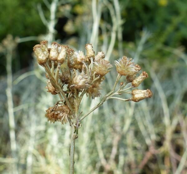 Helichrysum italicum (Roth) G.Don
