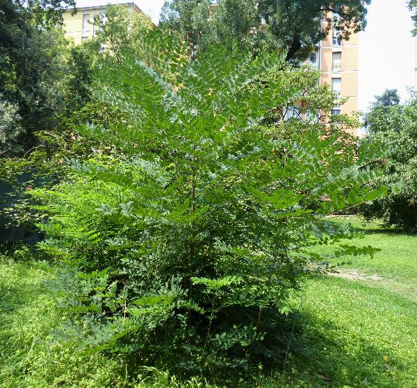 Gymnocladus dioicus (L.) K.Koch