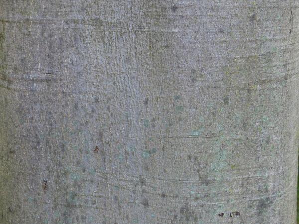 Fagus sylvatica L. 'Roseomarginata'