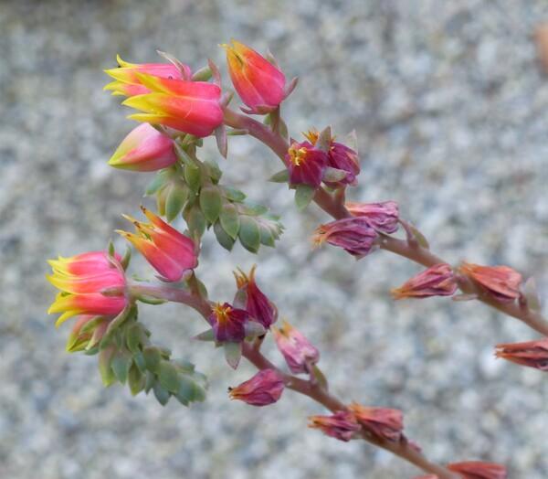 Echeveria elegans Rose