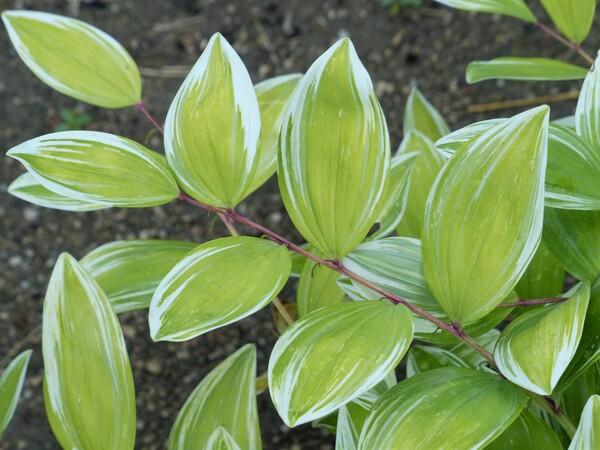 Polygonatum falcatum A. Gray 'Variegatum'