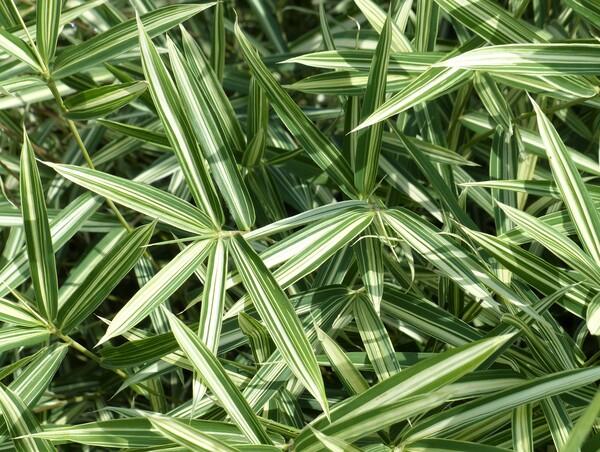 Pleioblastus variegatus (Siebold ex Miq.) Makino 'Fortunei'