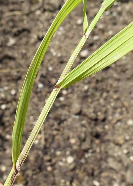 Melica altissima L.