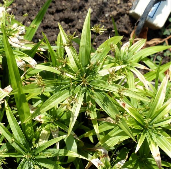 Cyperus diffusus Vahl