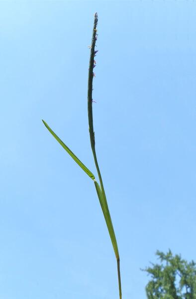 Stenotaphrum secundatum (Walter) Kuntze