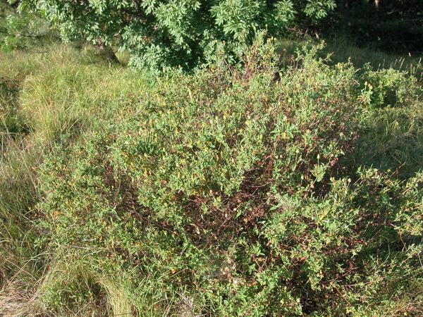 Cistus salviifolius L.