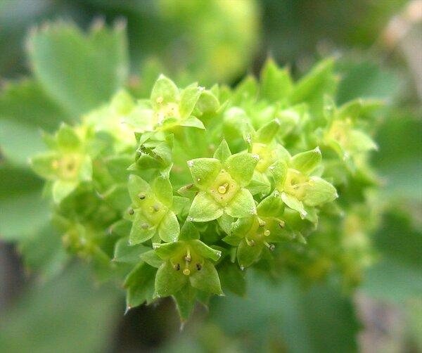 Alchemilla vulgaris L.