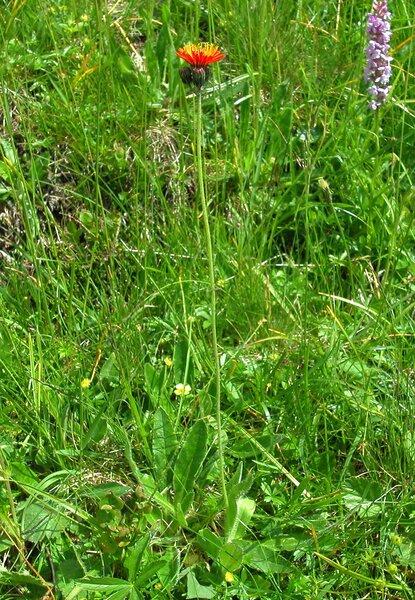 Crepis aurea (L.) Cass. subsp. aurea