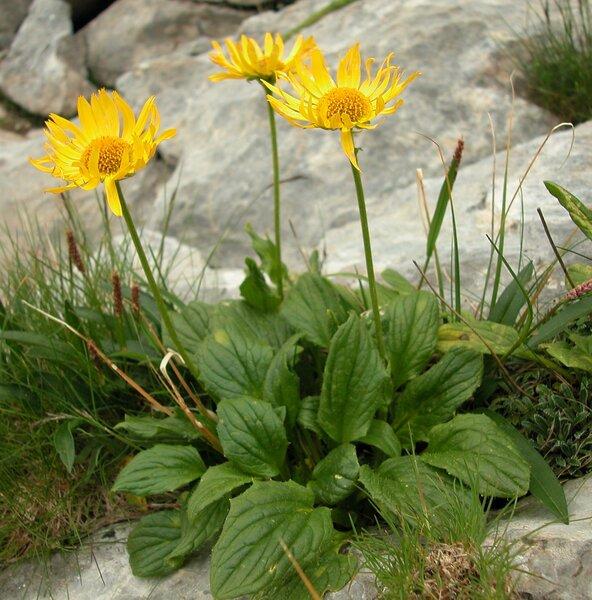 Doronicum grandiflorum Lam. subsp. grandiflorum