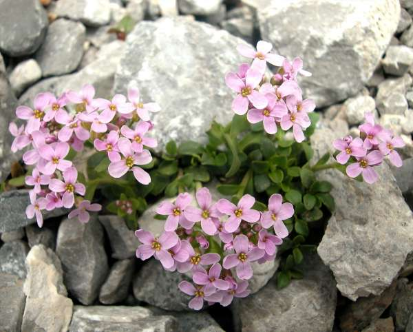 Noccaea rotundifolia (L.) Moench