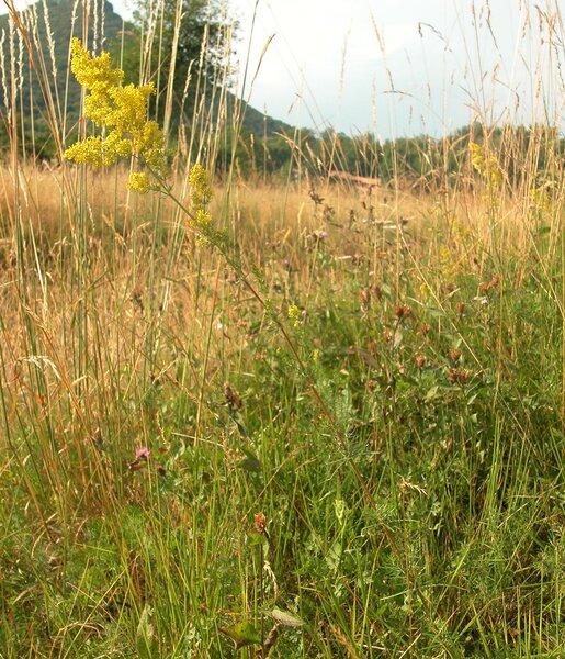 Galium verum L. subsp. verum