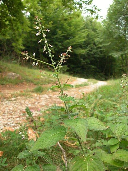 Circaea lutetiana L. subsp. lutetiana