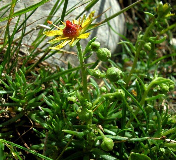 Saxifraga aizoides L.