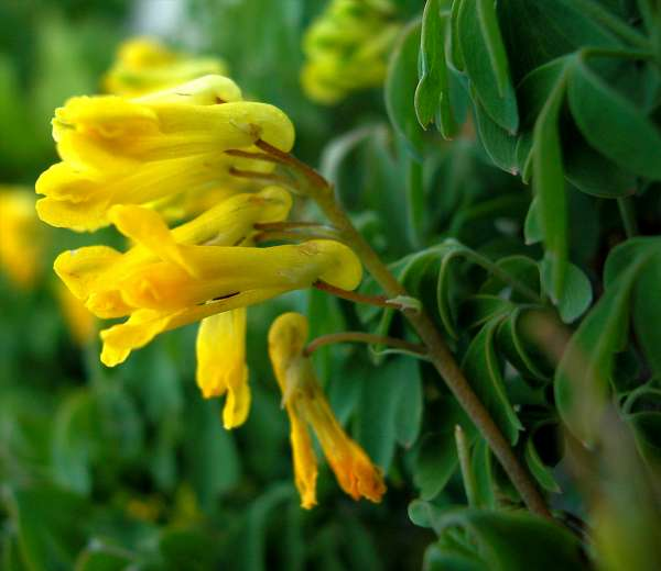 Pseudofumaria lutea (L.) Borkh.