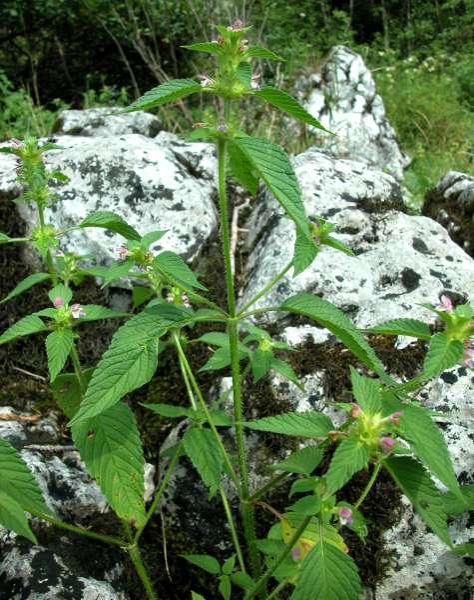 Galeopsis bifida Boenn.