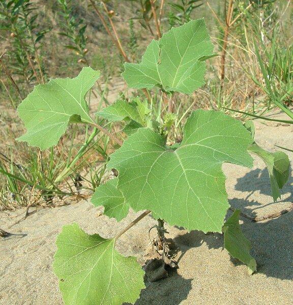 Xanthium italicum Moretti