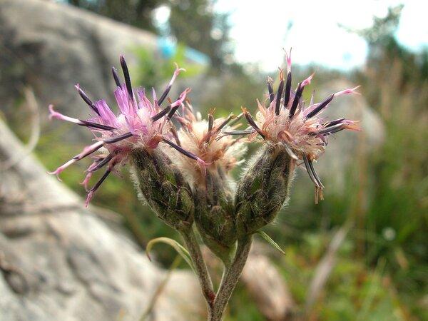 Saussurea discolor (Willd.) DC.