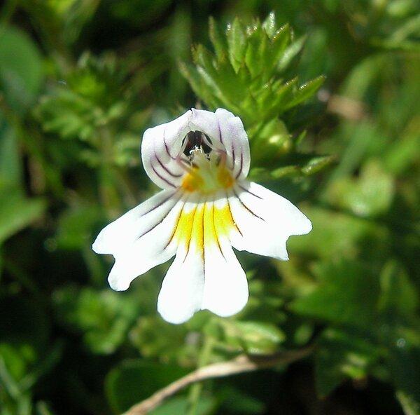 Euphrasia rostkoviana Hayne s.l.