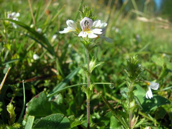 Euphrasia officinalis L. subsp. rostkoviana (Hayne) Towns.