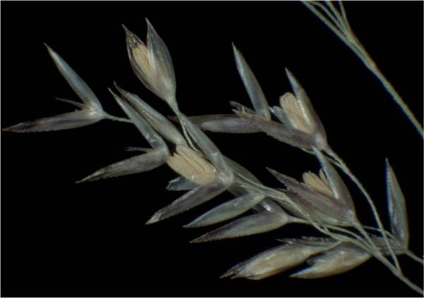 Agrostis castellana Boiss. & Reut.