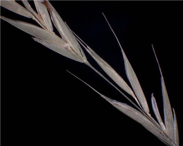 Bromopsis ramosa (Huds.) Holub subsp. ramosa
