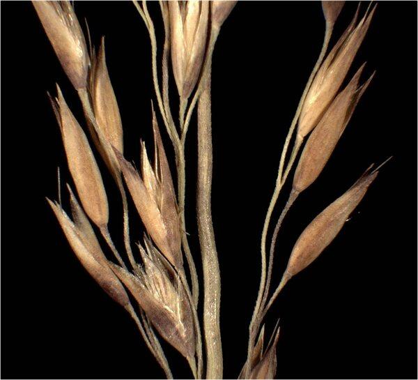 Calamagrostis varia (Schrad.) Host