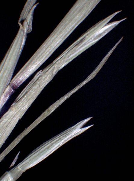 Parapholis strigosa (Dumort.) C.E.Hubb.