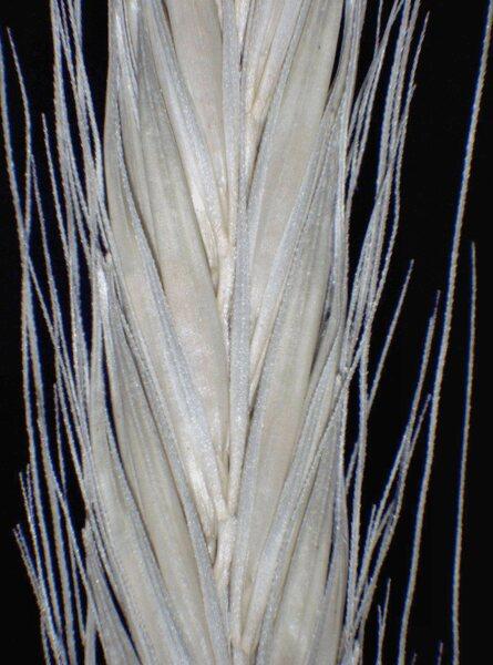 Hordeum bulbosum L.