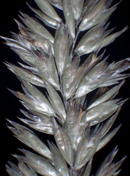 Koeleria splendens C.Presl