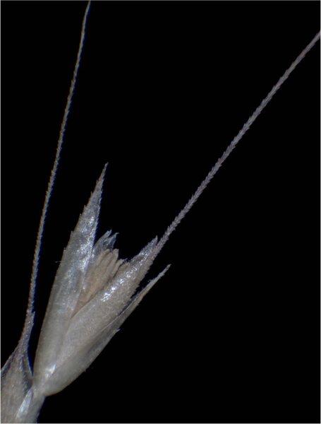 Apera spica-venti (L.) P.Beauv. subsp. spica-venti