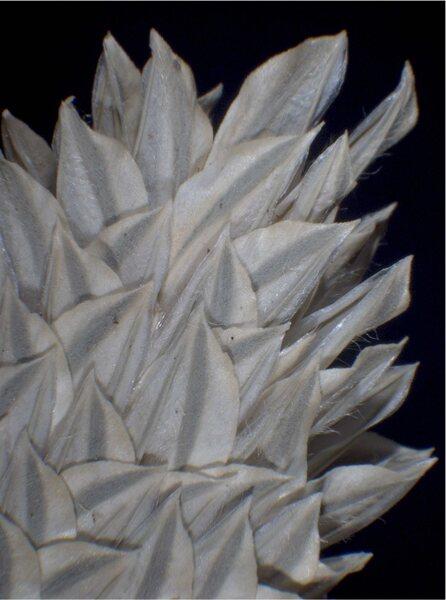 Phalaris canariensis L.