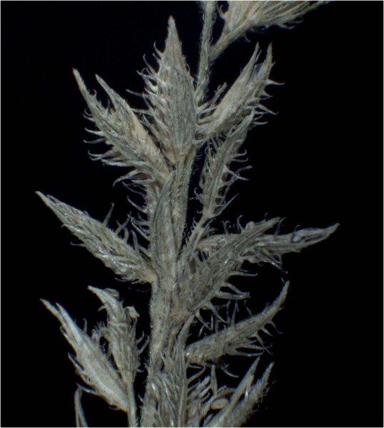Tragus racemosus (L.) All.