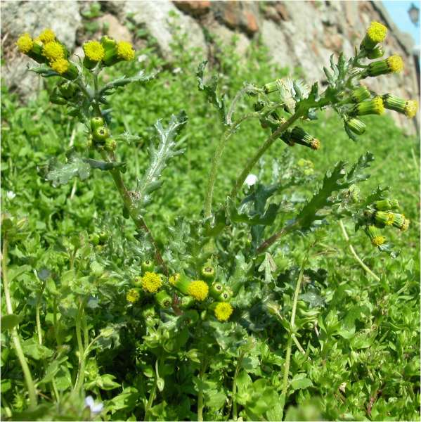 Senecio vulgaris L. subsp. vulgaris